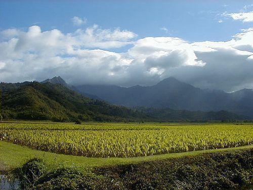 Taro field kauai